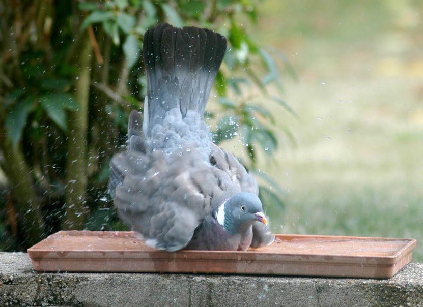pigeon02.JPG.a298a1adf361f153456e3fe260da0600.JPG