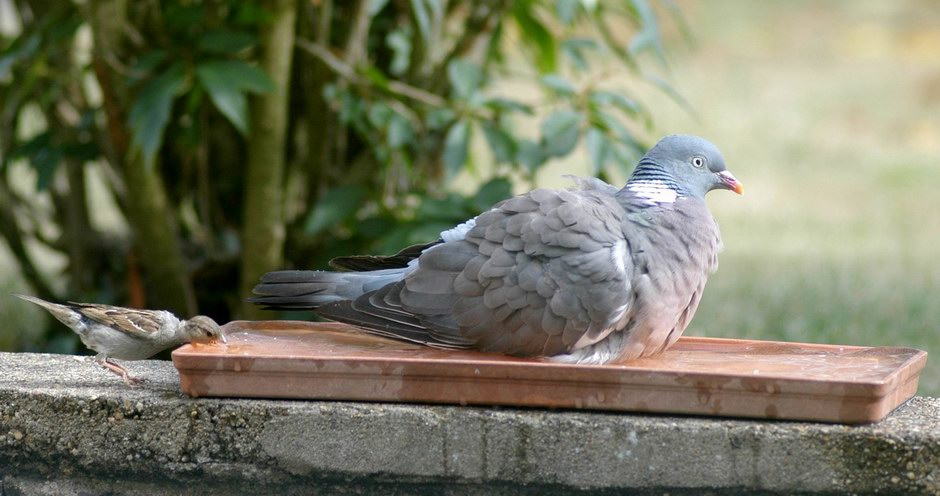 pigeon01.JPG.d94781ed2702665336b23f44e5ad37c4.JPG