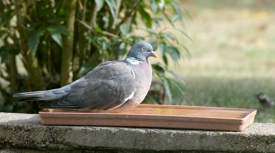 pigeon03.JPG.c769915abdf0470f5682fe638570592a.JPG