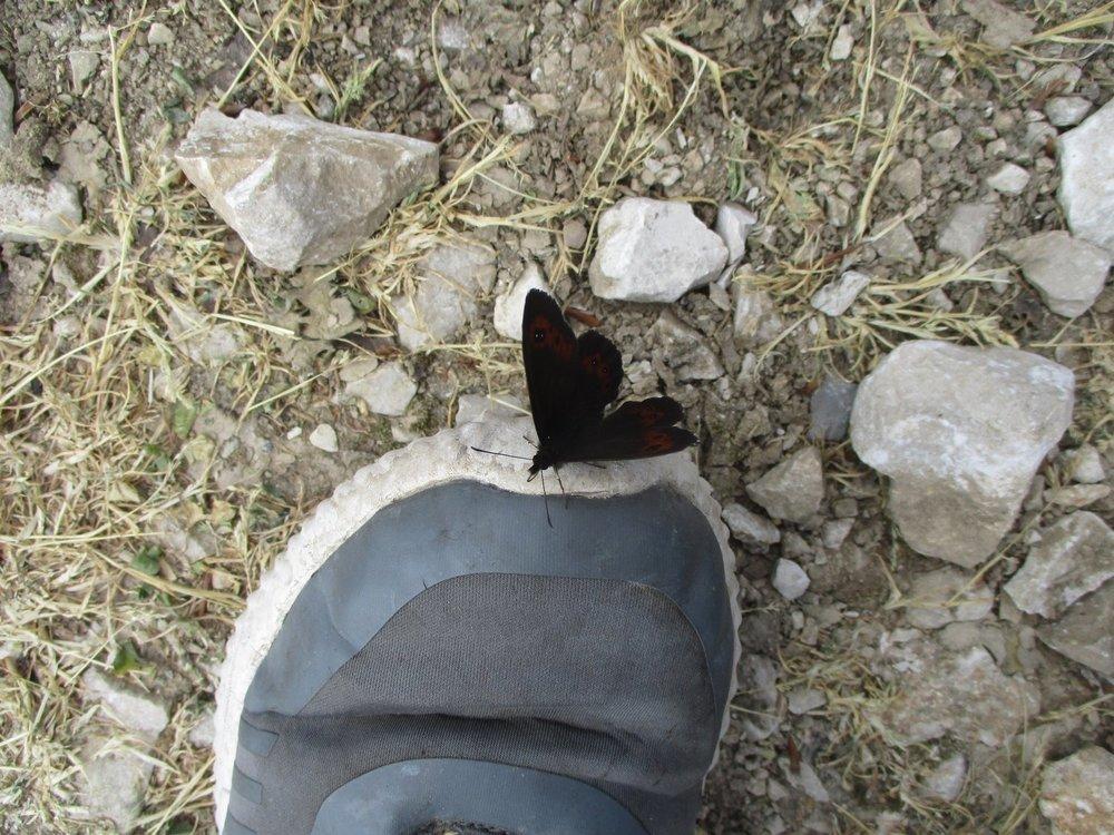 papillon.thumb.JPG.4a142af4772233b88f31cec50a0bed51.JPG